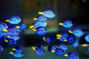 blue-hippo-tang-dory